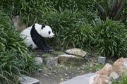 Pandalego
