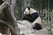 Pandazoo
